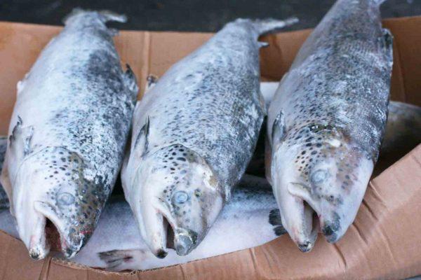 Лосось Чили Премиум 3-4 кг