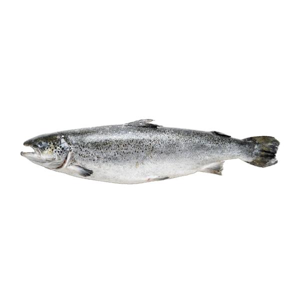 лосось 5-6 фареры